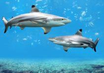 Tiburón de Punta Negra