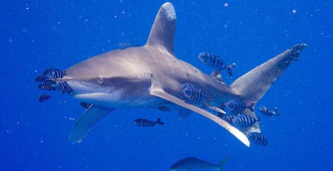 tiburon-oceanico-de-puntas-blancas-1
