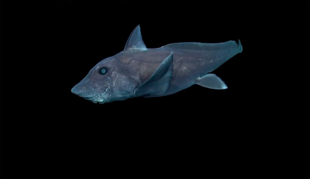 Los 15 Tiburones Más Raros que se han visto