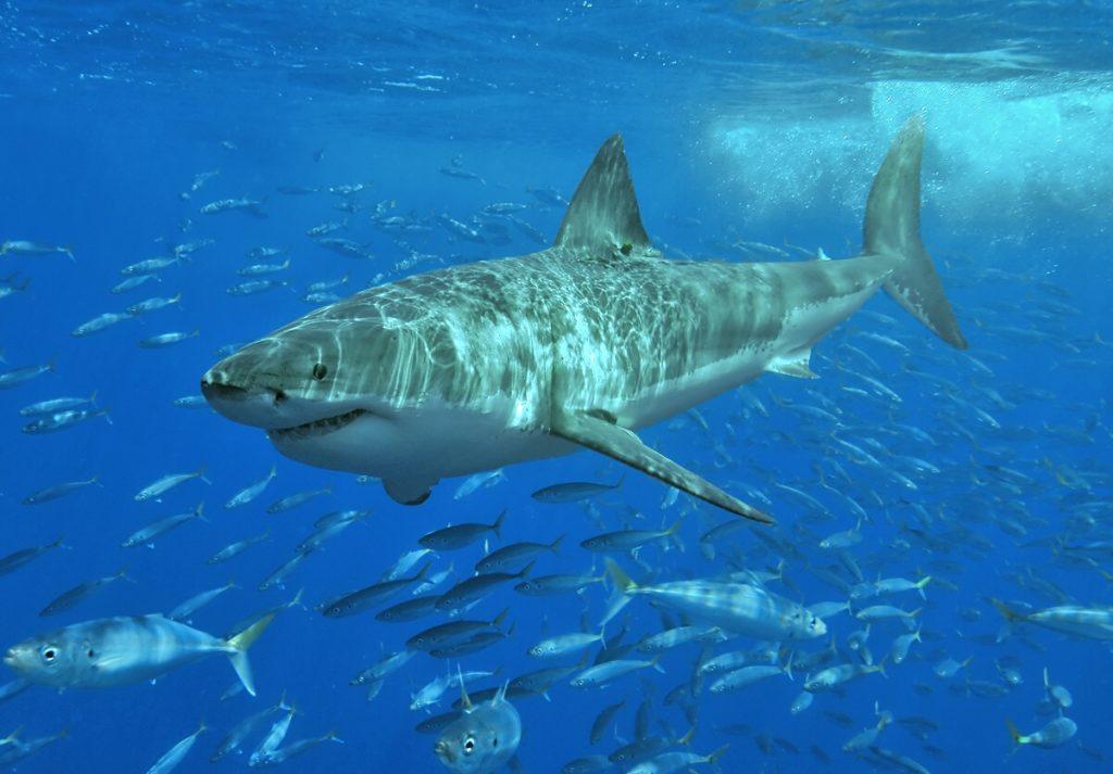 tiburon blanco que come - que comen los tiburones - imagenes de tiburon blanco