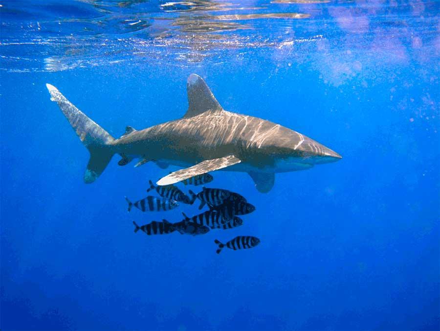 Tiburón Oceánico de Puntas Blancas