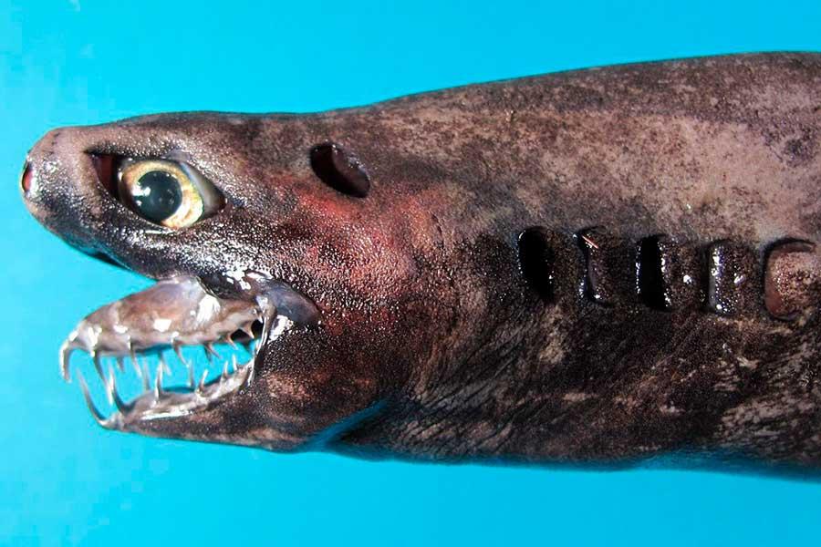Tiburón Víbora