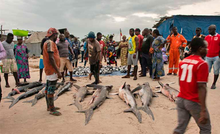 congo-tiburones-en-peligro-1