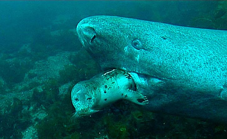Encontrado un Tiburón de Groenlandia de 272 años de edad