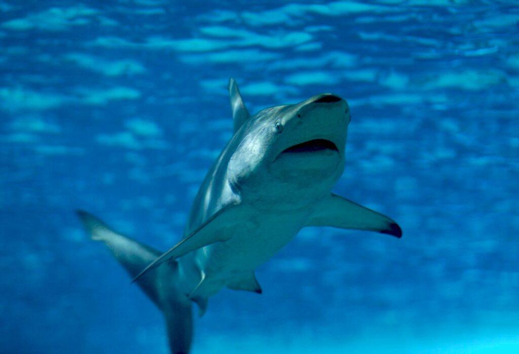 Tiburón Amarillo 2021