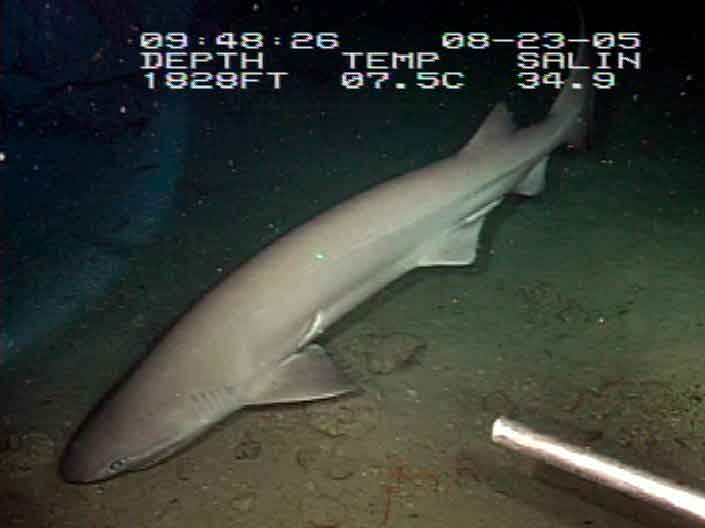 Cañabota gris, tiburón de seis branquias chata, tiburón de peinetas tiburón nariz roma