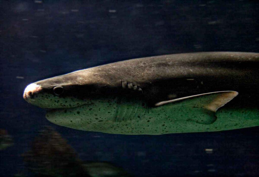 tiburón_siete_branquias_de_nariz_roma_corta
